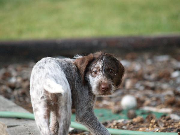 German Wirehair's Puppy Anya, Baily & Big Ben